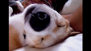 This Is The Laziest Puppy You Have Ever Seen!  - Video