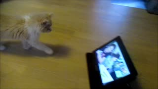 Kitten Reacts to Humans Reacting on Tablet - Video