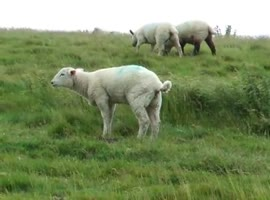 Sheep Can't Stop Sneezing