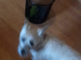 Dog Can't Figure Out Simple Solution - Video