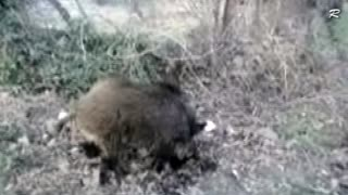 Wild Boar in the Village Pub - Video