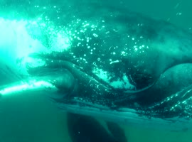 Whale Smashes Diver's Camera With Its Fin - Video