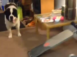 Dog Struggles to Catch Ball - Video