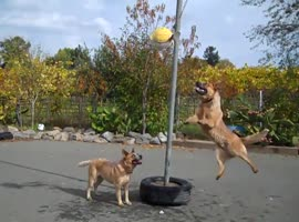 Two Dogs Playing Tetherball - Video