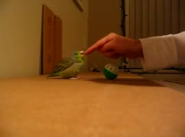 Cute Parrot Gets Excited Over Ball - Video