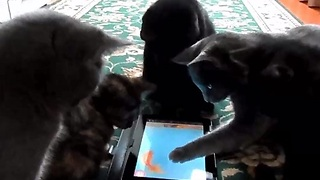 Curious Cats Surround Helpless iPad Fish - Video