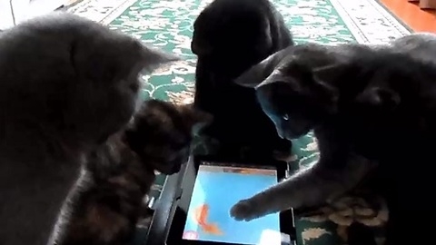 Curious Cats Surround Helpless iPad Fish