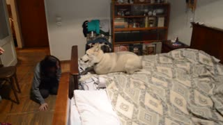 Husky Dog Runs Laps on Bed! - Video