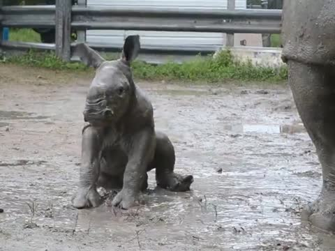 Rhino baby learns to roll.