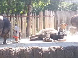 Elephant Cleans Forehead With a Broom!