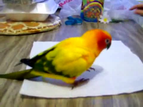 Parrot screwed with tissue