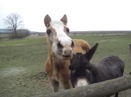 Horse give funny sounds - Video