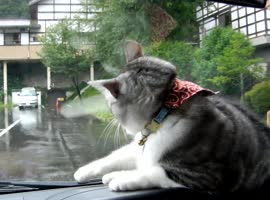 -Dashboard Cat vs Windshield Wipers-