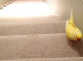 Parrot Races Dog Up Stairs! - Video