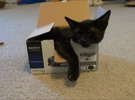 Cute Kitten Appears Out of Box! - Video