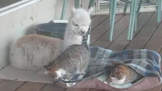 Snuggly Alpaca Is Best Friends With Friendly Cats