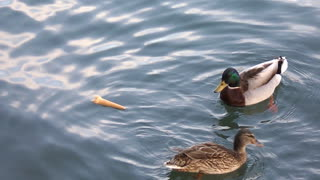 Ducks funny - Video