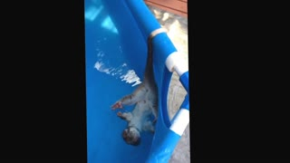 Possum Cools Off in Swimming Pool in Australia - Video