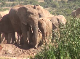 Baby Elephant Screams For Help - Video