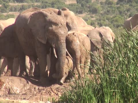 Baby Elephant Screams For Help, Mom Comes To The Rescue
