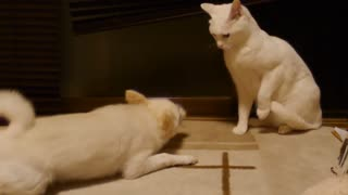 Dog Silently Irritates Cat - Video