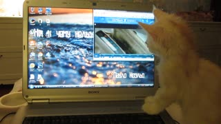 Video Loving Cat Watches Owner's Laptop