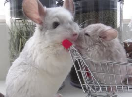 Chinchilla Takes Her Baby Shopping!
