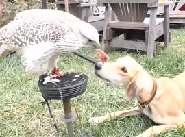 Falcon Feeds Dog Quail - Video
