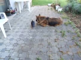 Dog and crow playing with ball - Video
