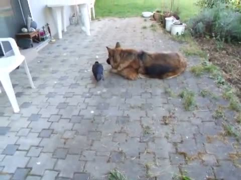 Dog and crow playing with ball