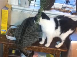 Cat Struggles to Get Past Friend - Video