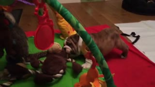 Puppy Bulldog Thinks He's the Boss! - Video