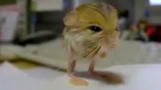 Pygmy Jerboa Warning worlds cutest mouse - Video
