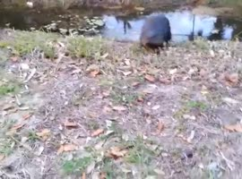 Playfull Otter Acts Like Dog - Video