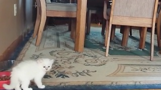 Precious Kitten Runs Straight Into a Chair - Video
