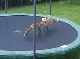 Animals on trampolines - Video