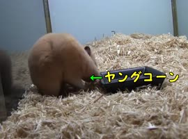 Hamster eating corn very quickly.