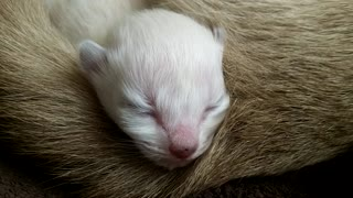 Newborn Kitten Sleeping Adorably - Video