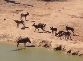 Warthog Caught Between Crocodile & Pack of Wild Dogs - Video