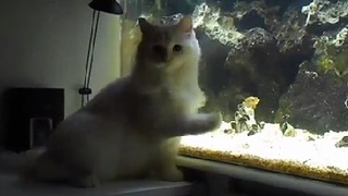 Cutest Ragdoll Kitten Attacking the Fish Tank - Video