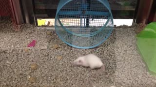 Silly Mouse Runs Laps Around Wheel
