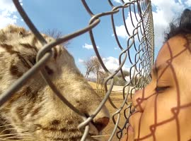 Tiger Lands a Kiss on Woman - Video