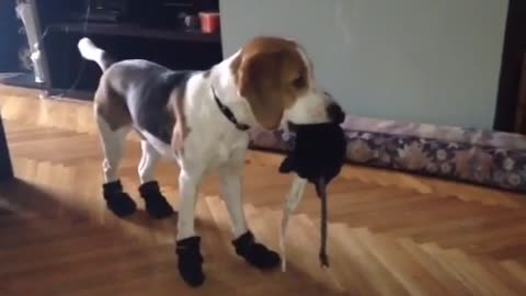 First Dog to Ever Like Winter Boots?