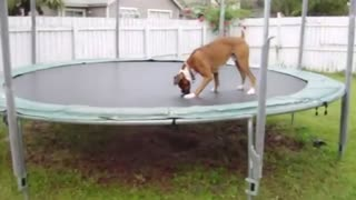 The Trampoline Dog - Video