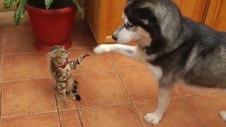 Husky Encourages Uninterested Cat to Play - Video