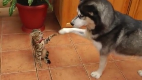 Playful Husky Wants To Have A Play Date With Little Kitty