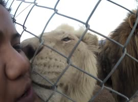 Lion Gives Woman a Kiss! - Video