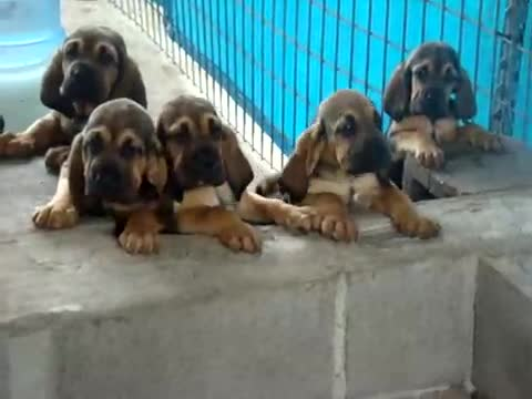 Cute Puppies Howling For Dinner