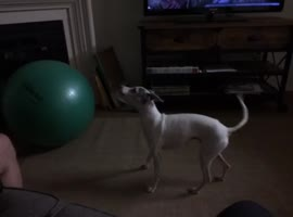 Dog Scared Of Stability Ball - Video