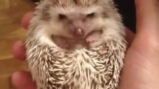 Cutest baby hedgehog waking up - Video